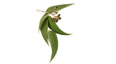 eucalyptus_405x225
